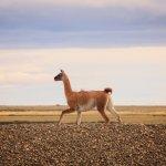 guanaco de patagonie