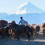gaucho à cheval avec son troupeau de vaches en patagonie, volcan lanin