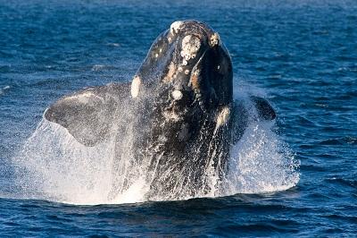 observer la baleine franche australe