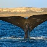baleine franche australe - voyage patagonie
