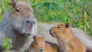carpinchos - voyage faune et flore en argentine