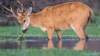 cerf - voyage faune et flore en argentine