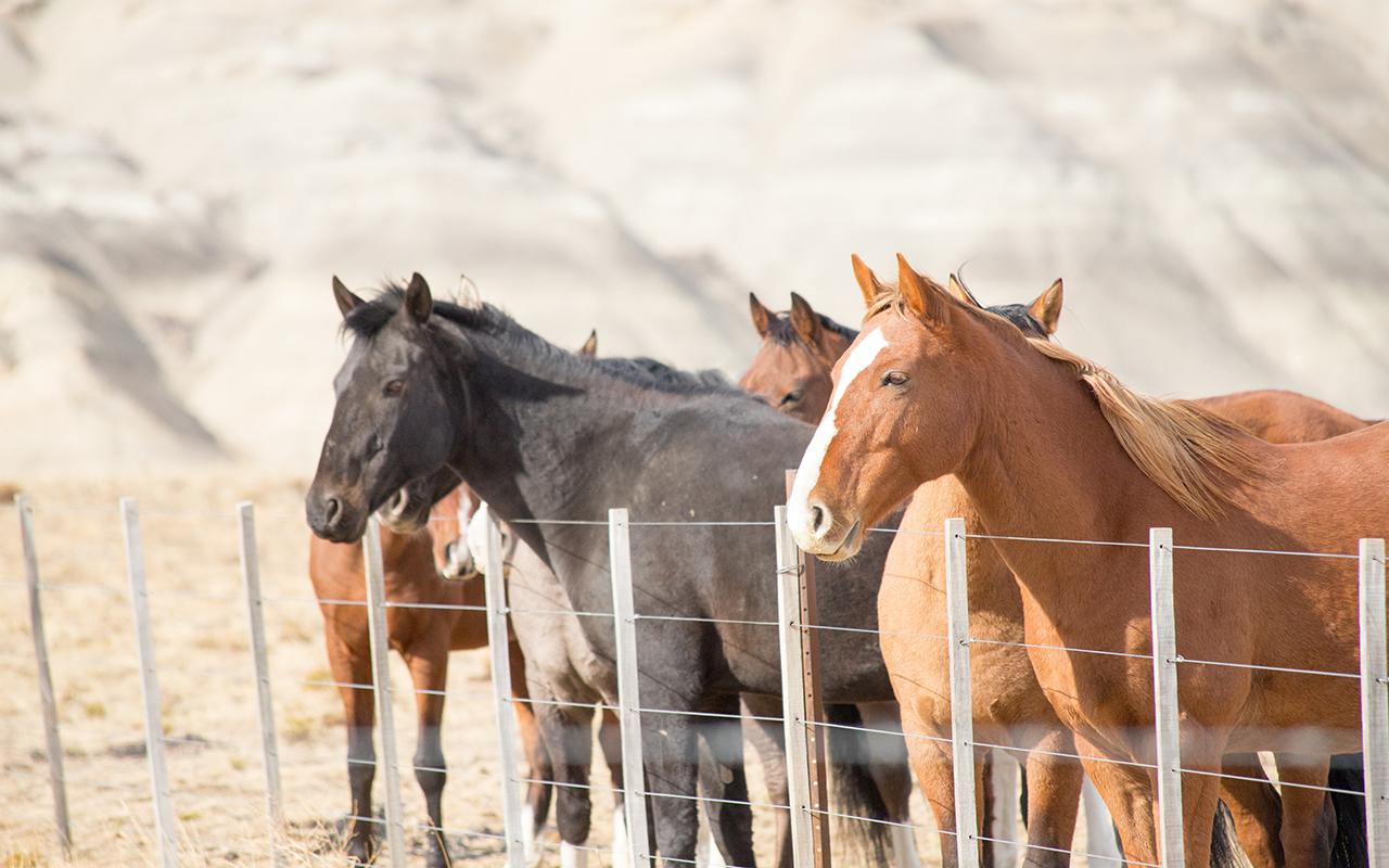cheval patagonie