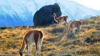 guanacos - voyage patagonie