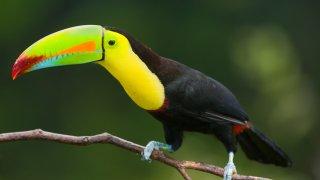 toucan iguazu