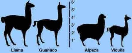 camélidés en argentine : lama, guanaco, alpaga et vigogne