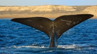 baleine franche australe - patagonie argentine